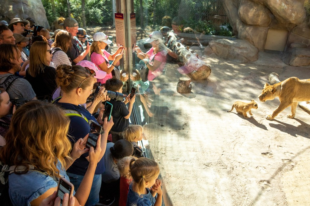 Crowds teem as Denver Zoo's new and yet-unnamed baby lion is revealed to the public. Sept. 18, 2019. (Kevin J. Beaty/Denverite)