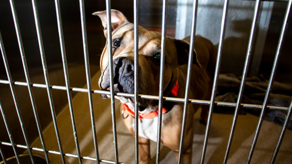Cindy the pit bull is set to be transferred out of the Denver Animal Shelter, Jan. 17, 2020. (Kevin J. Beaty/Denverite)