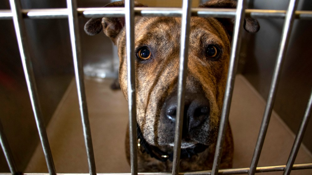 Zelle the pit bull is set to be transferred out of the Denver Animal Shelter, Jan. 17, 2020. (Kevin J. Beaty/Denverite)