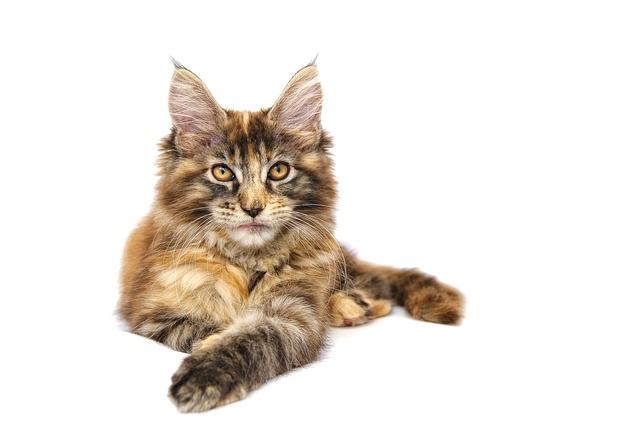 最大の猫種 メインクーン