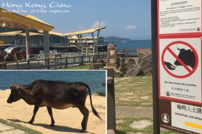 """Yes, there are """"wild cows"""" (no owner) in these hills, as well as just outside where I'm staying. (This cow is on Grass Island.) I also saw monkeys; fortunately, I didn't see any of the large snakes. We don't have any of those in Mongkok. You can see the ferry at the pier."""