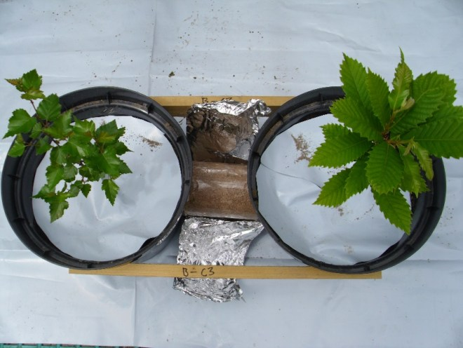 Figure 3 The trees in the joined pots B (Betula pendula) on the left