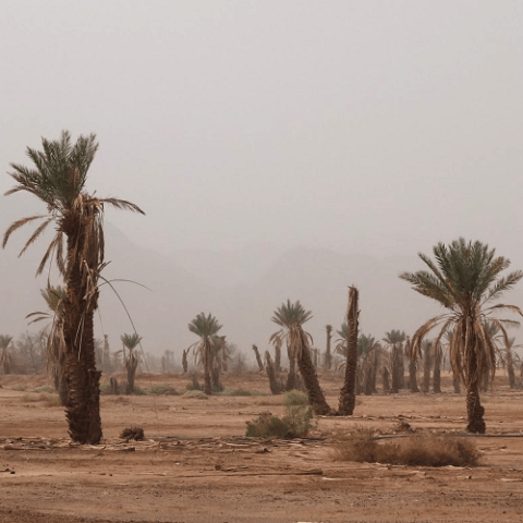 Drought vulnerability of the date palm and its wild relatives