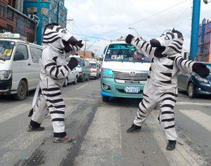 Cebras ganaron cariño ciudadano