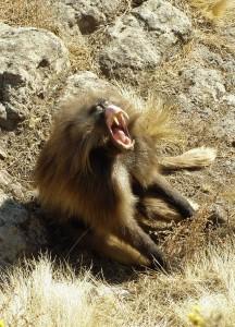 Gelada baboon, Wikimedia commons