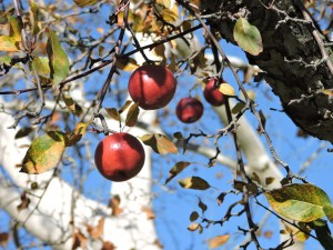 Apple tree at White Haven Memorial Park.