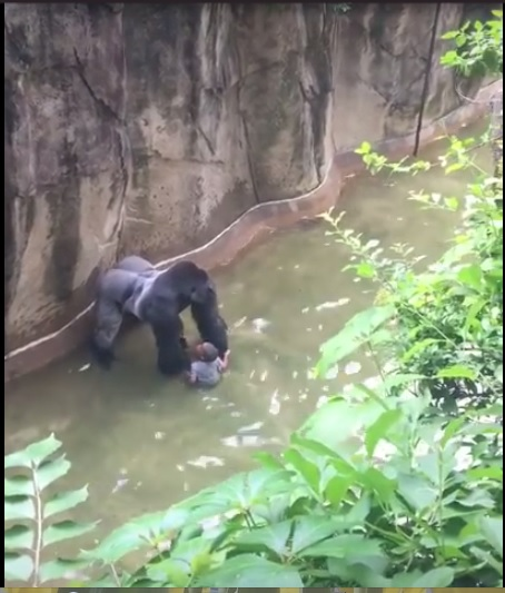 Screenshot from the video of Harambe and the child who fell into the gorilla enclosure.