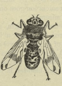 The Horse Botfly, which lays its eggs on horses' skin and infests the horse's intestines.