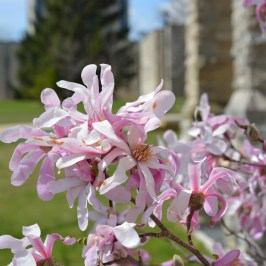 close-up on pink and white flowering tree