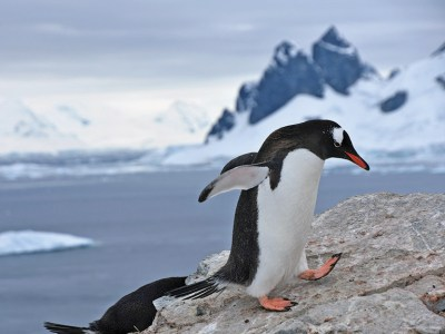 Penguin standing on a rock.