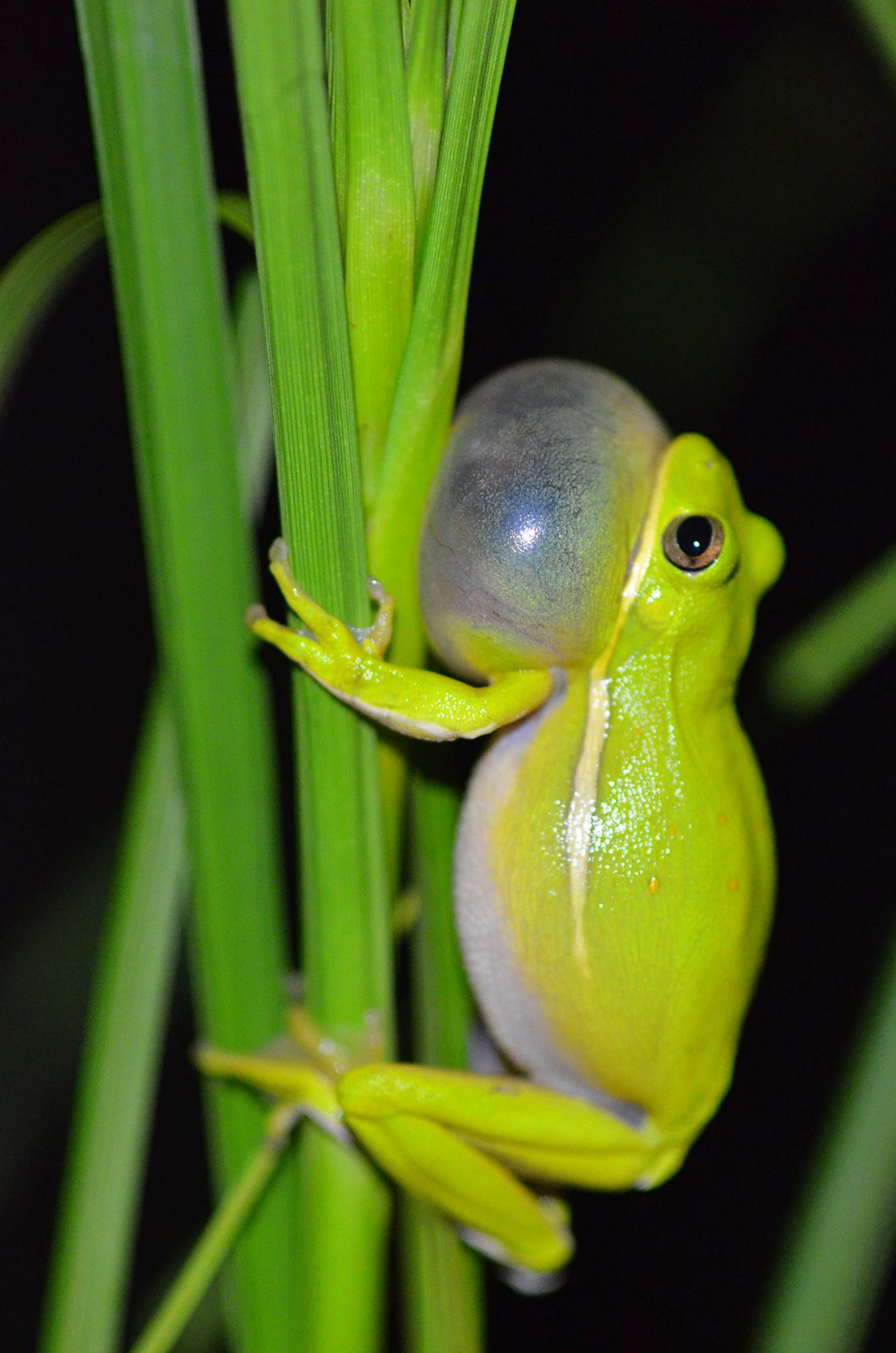 This Hyla cinerea (green treefrog) is shown calling. Photo provided by Lee.