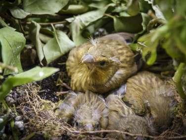 Junge Grünfinken, © Sabine Fröhlich