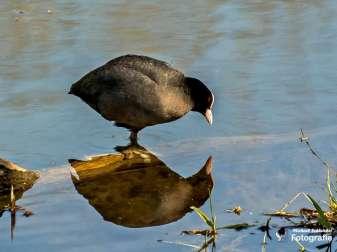 Blesshuhn spiegelt sich im Wasser, © Michael Schleicher