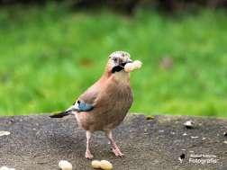 Bei Eichelhähern sind Erdnüsse sehr beliebt, © Michael Schleicher