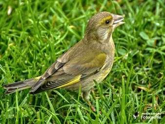 Weiblicher Grünfink, © Michael Schleicher