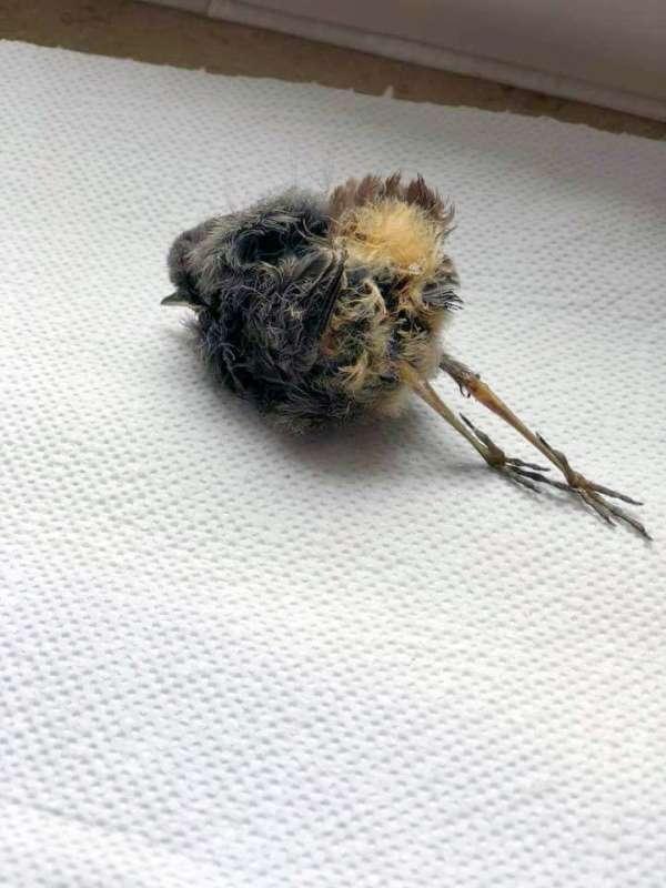 Hausrotschwanz - Verstopfung mit Todesfolge nach Fütterung von Nestlingsfutter, © Wildvogelhilfe Spatz-Meislein