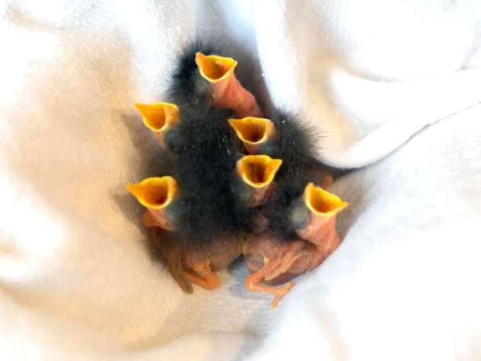 Rotkehlchen Nestlinge, © Dania Koncos