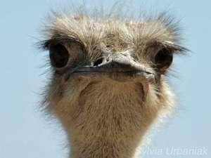 Weiblicher Afrikanischer Strauß (Struthio camelus), © Sylvia Urbaniak