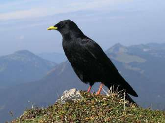 Alpendohle (Pyrrhocorax graculus), © wagon16/Public Domain via Flickr