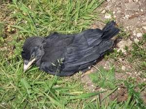 Apathische junge Krähe, die vermutlich Gift-Pellets zum Töten von Kleinsäugern gefressen hat, © Gary Troughton via Flickr