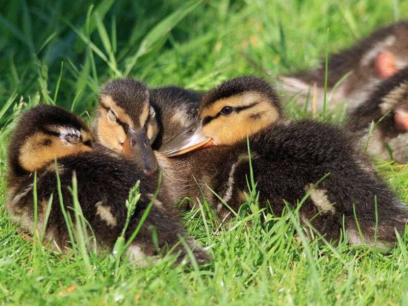 Gesunde und erkrankte Augen: Bei der linken jungen Stockente liegt eine Augenenzündung vor, die mittlere Ente hat ihre gesunden Augen einfach nur geschlossen und das rechte Tier hat gesunde, geöffnete Augen, © Britta Müller