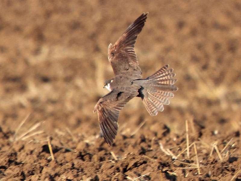 Baumfalke (Falco subbuteo), © Radovan Václav via Flickr