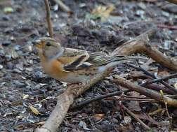 Weiblicher Bergfink (Fringilla montifringilla), © Stefan Berndtsson via Flickr