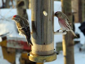 Feine Sämereien wie die Negersaat werden von Birkenzeisigen als Futter im Winter bevorzugt, © Connie Smith via Flickr