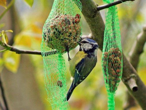 Blaumeise an einem Meisenknödel, solche Netze sollten vermieden werden © boxberger / Pixelio.de