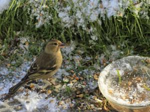 Buchfinken bevorzugen als Winterfutter ölhaltige Sämereien, © uschi dreiucker / Pixelio.de