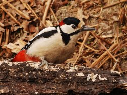 Männlicher Buntspecht (Dendrocopos major), © Paul Ritchie via Flickr