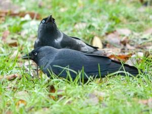 Gehandicapte Rabenvögel sollten niemals einzeln gehalten werden, die Abbildung zeigt zwei Dohlen, © Sergey Yeliseev via Flickr