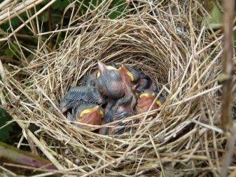 Junge Dorngrasmücken, © Nottsexminer via Flickr