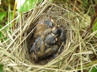 Jeunes fauvettes grisettes dans le nid, © Nottsexminer via Flickr
