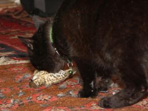 Vermutlich hat die Drossel das Glöckchen am Halsband der Katze gehört, doch sie war wahrscheinlich noch zu jung, um davonfliegen zu können, © Uli Herrmann via Flickr