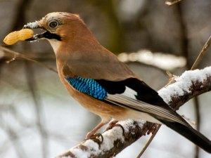 Größere Vögel wie Eichelhäher oder Elstern nehmen auch ganze Nüsse als Futter an, © Gellinger / Pixabay