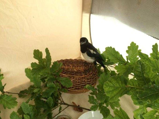 Auch junge Rabenvögel kann man anfangs in einer faltbaren Hundetransportbox einquartieren, © Margareta Michna