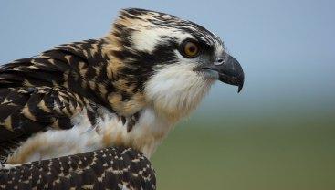 Junger Fischadler, © Chesapeake Bay Program via Flickr