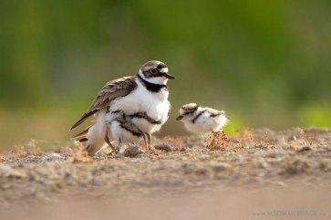 Junge Flussregenpfeifer mit einem Elternvogel, © Maik Sommerhage via naturgucker.de
