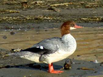 Weiblicher Gänsesäger (Mergus merganser), © Maggie.Smith via Flickr