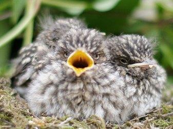 Junge Grauschnäpper, © Papooga via Flickr