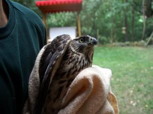 Beim Einfangen von in Not geratenen Wildvögeln ist eine Decke hilfreich, © Anke Dornbach