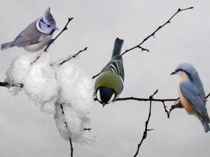 Haubenmeise (links), Kohlmeise (Mitte) und Kleiber (rechts) im Winter, © berggeist007 / Pixelio.de