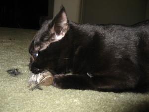 Diese Katze hatte zum ersten Mal Freigang und brachte nach nur fünf Minuten den ersten getöteten Singvogel mit, © Urban Gazelle via Flickr
