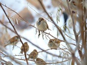 Spatzen im Winter, © GLady / Pixabay