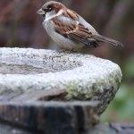 Haussperling an einer Vogeltränke, © a-mblomma / Pixabay