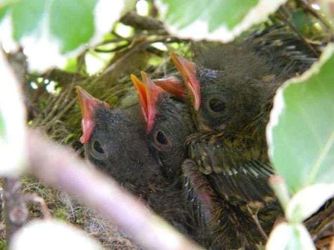 Junge Heckenbraunellen im Nest, © Claus Blume via naturgucker.de