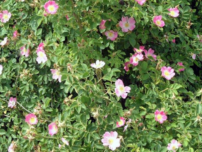 Die Hunds-Rose ist eine ideale Heckenpflanze für vogelfreundliche Gärten, © onnola via Flickr