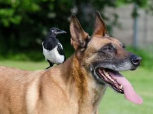 Junge Elster ohne Furcht vor einem Hund, © 825545 / Pixabay