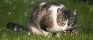 Eine Katze beißt einem erbeuteten Vogel den Kopf ab, © Virginia State parks via Flickr